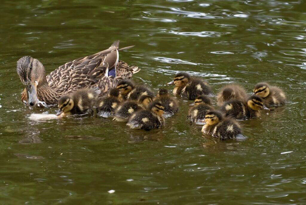 A female mallard and her chicks swimming in the pond at Walton Hall and Gardens