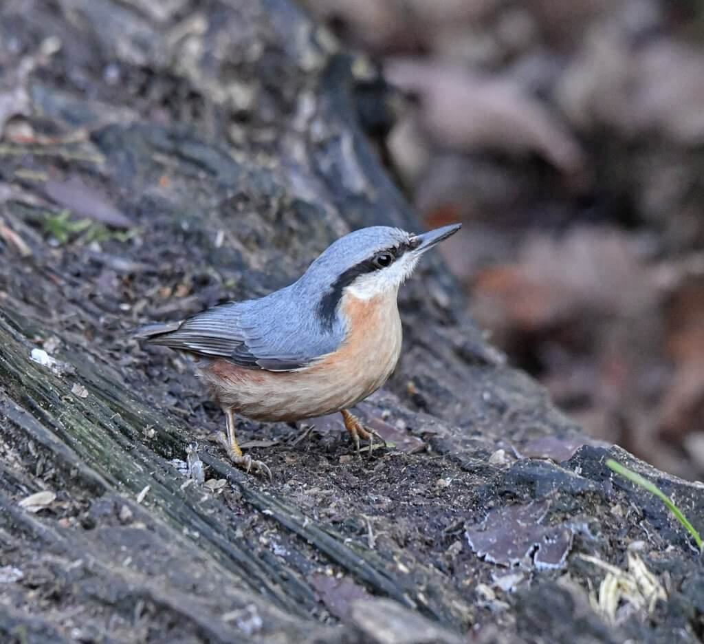 Nuthatch stopping for some food at Walton Hall and Gardens