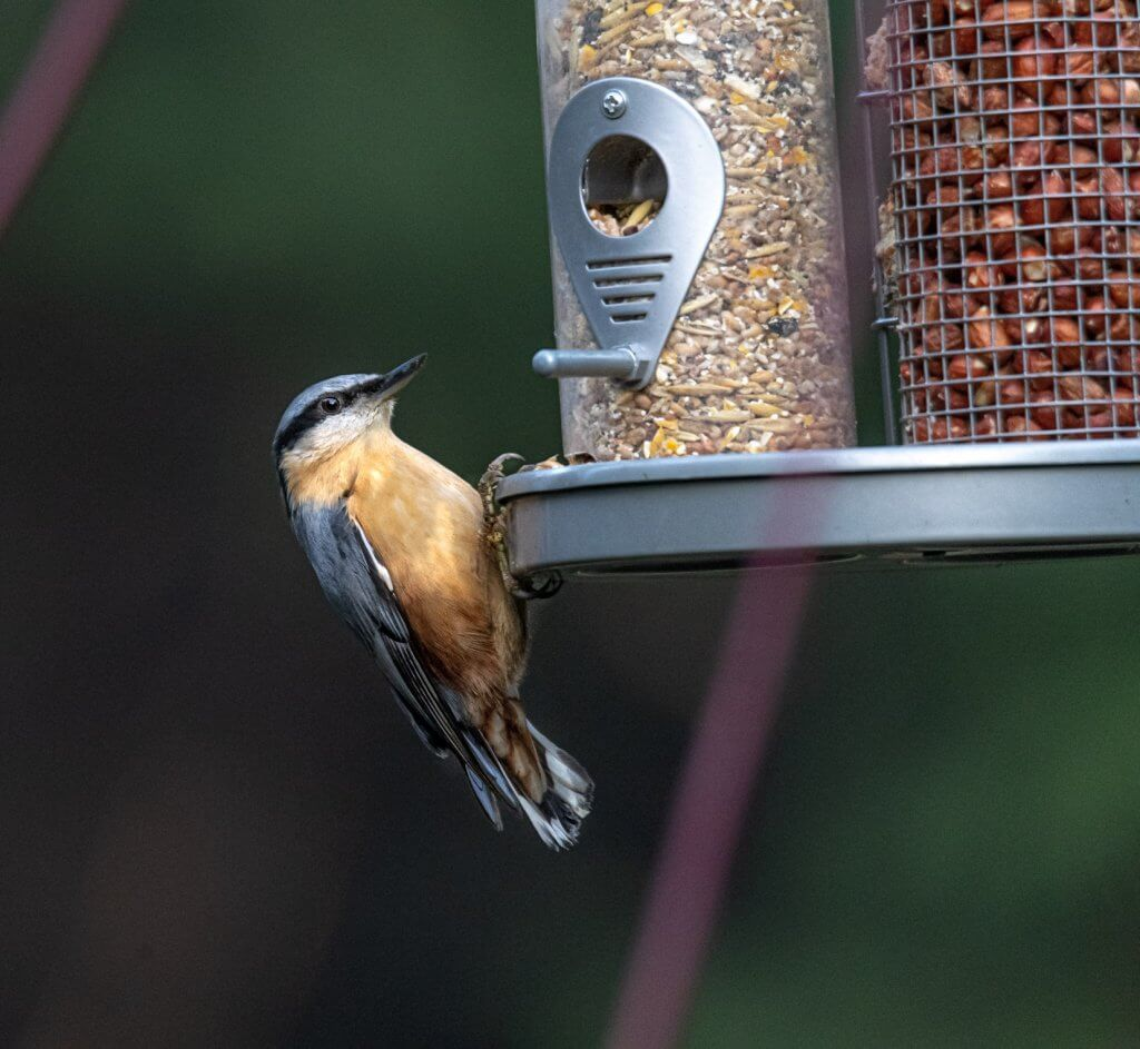 Nuthatch on a feeder at Walton Hall and Gardens