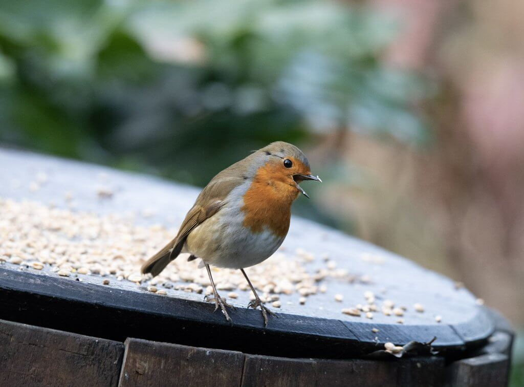 Wildlife snap by Andy Gilbert at Walton Hall and Gardens. A robin singing his heart out.