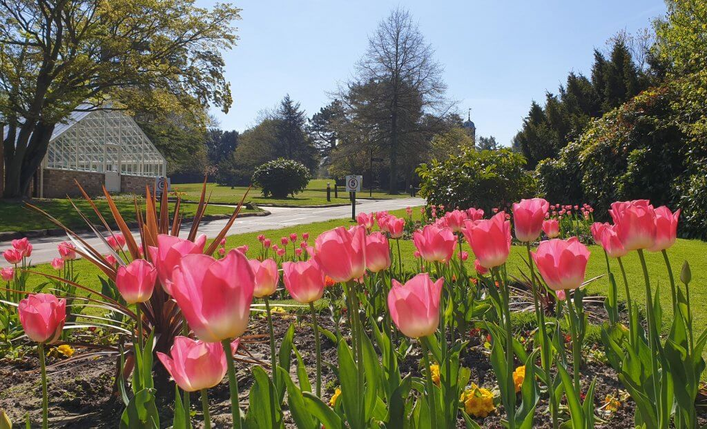 Tulips in full bloom outside the heritage yard at Walton Hall and Gardens