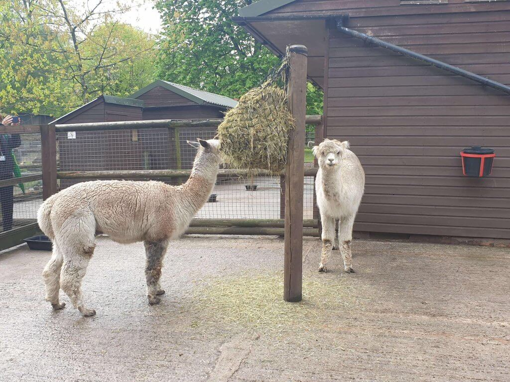 Alpacas being fed at Walton Hall and Gardens Children's Zoo