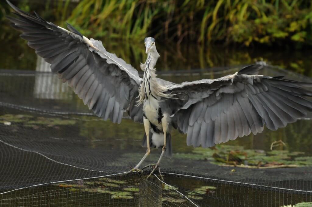 A cheeky heron at Walton Hall and Gardens. Please take the Walton Hall and Gardens survey