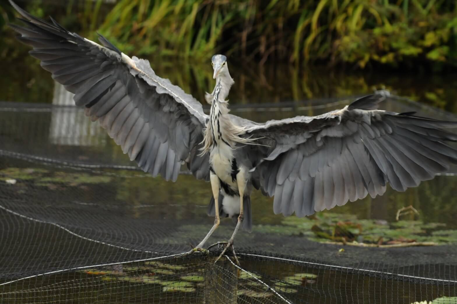 A cheeky heron at Walton Hall and Gardens. Please take the Walton Hall and Gardens survey