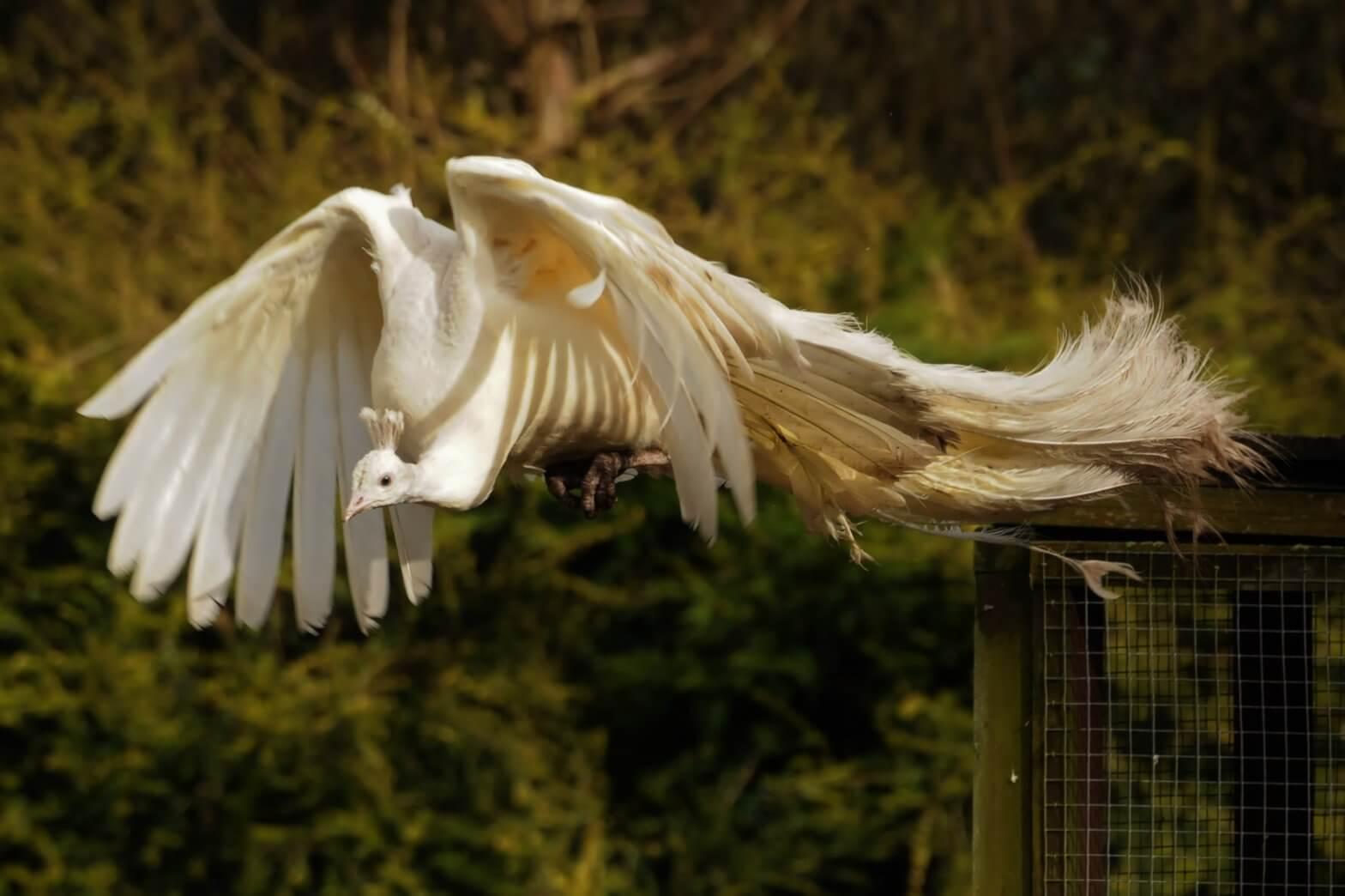 White peacock in flight FAQs