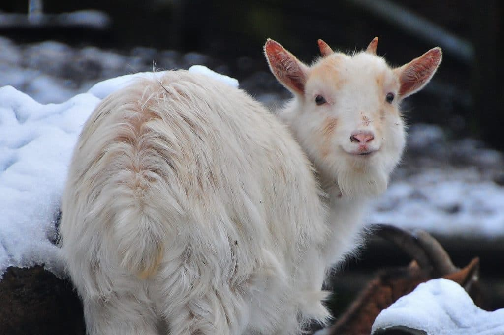 African Pygmy Goat in the snow for the children's zoo gallery