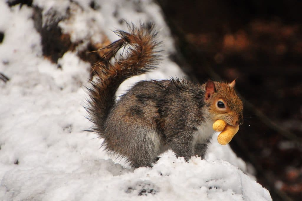 Squirrel in the snow, part of the winter children's zoo gallery