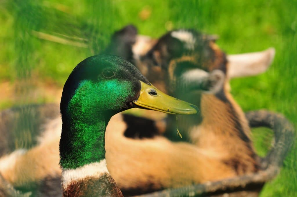 African Pygmy goat and Mallard duck