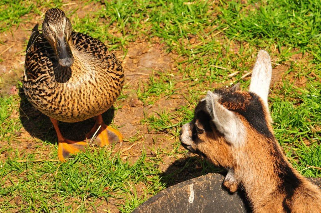 Pygmy goat baby and Mallard duck