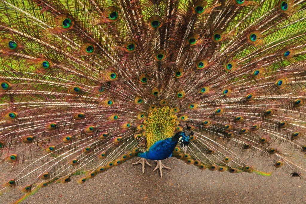 A beautiful male peacock display