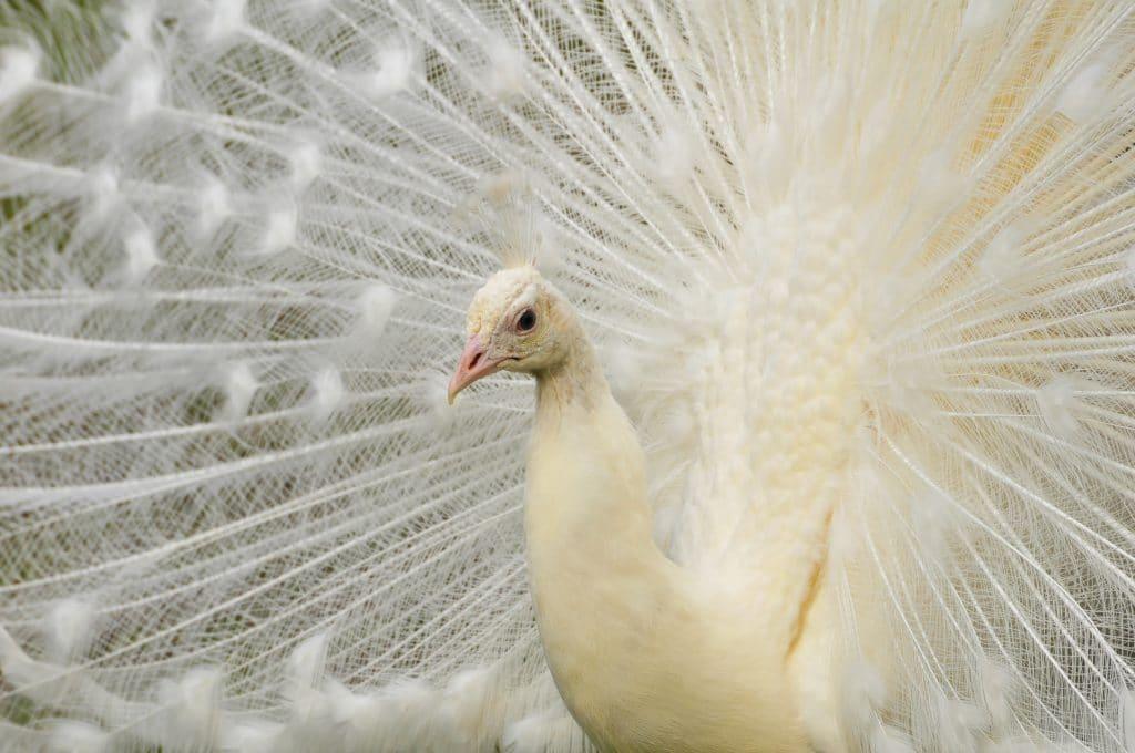 Beautiful white male peacock
