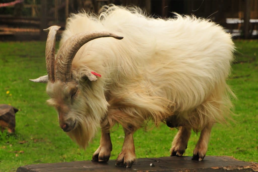 Casper the African Pygmy Goat Billy - part of the Children's Zoo Gallery