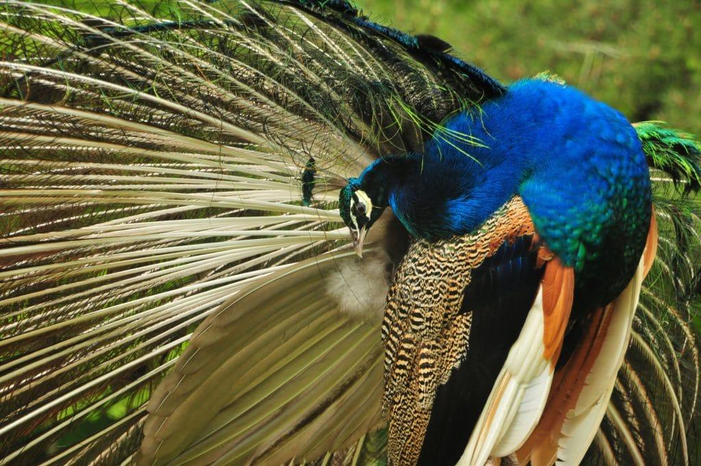 Beautiful male peacock at Walton Hall and Gardens