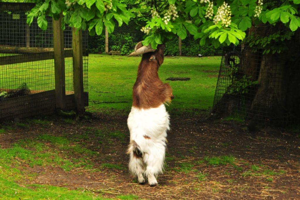 Mr Tumnus at Walton Hall and Gardens - African Pygmy Goat
