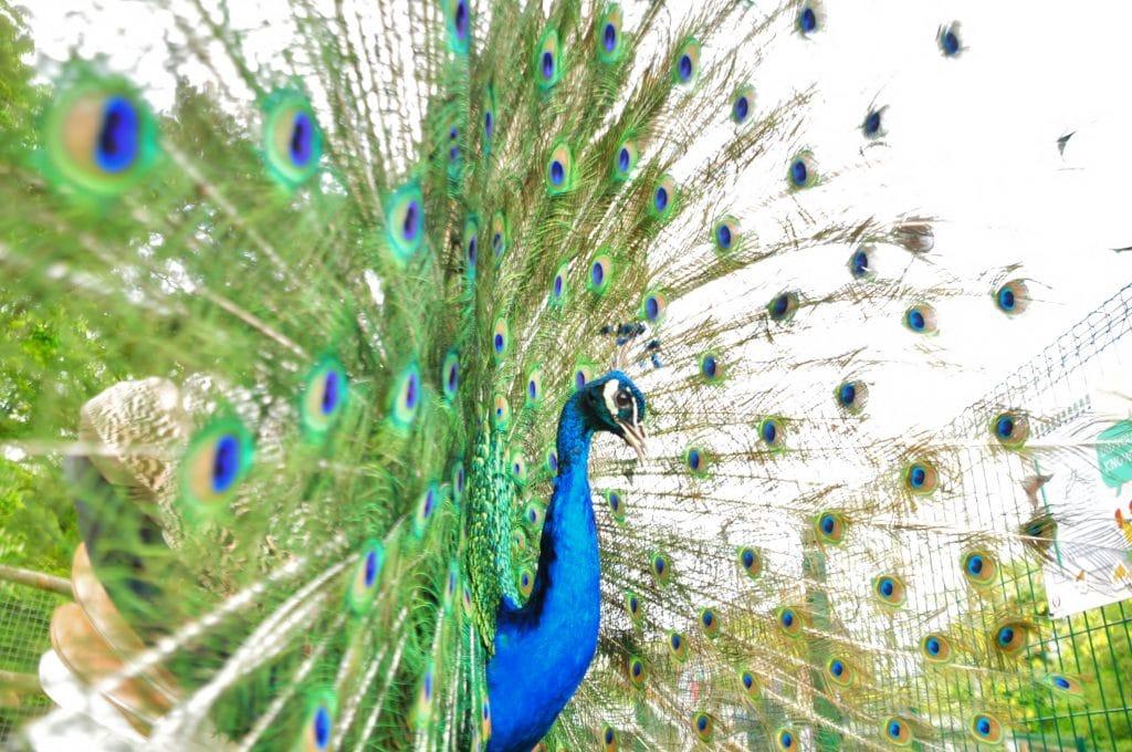 Male peacock in full display