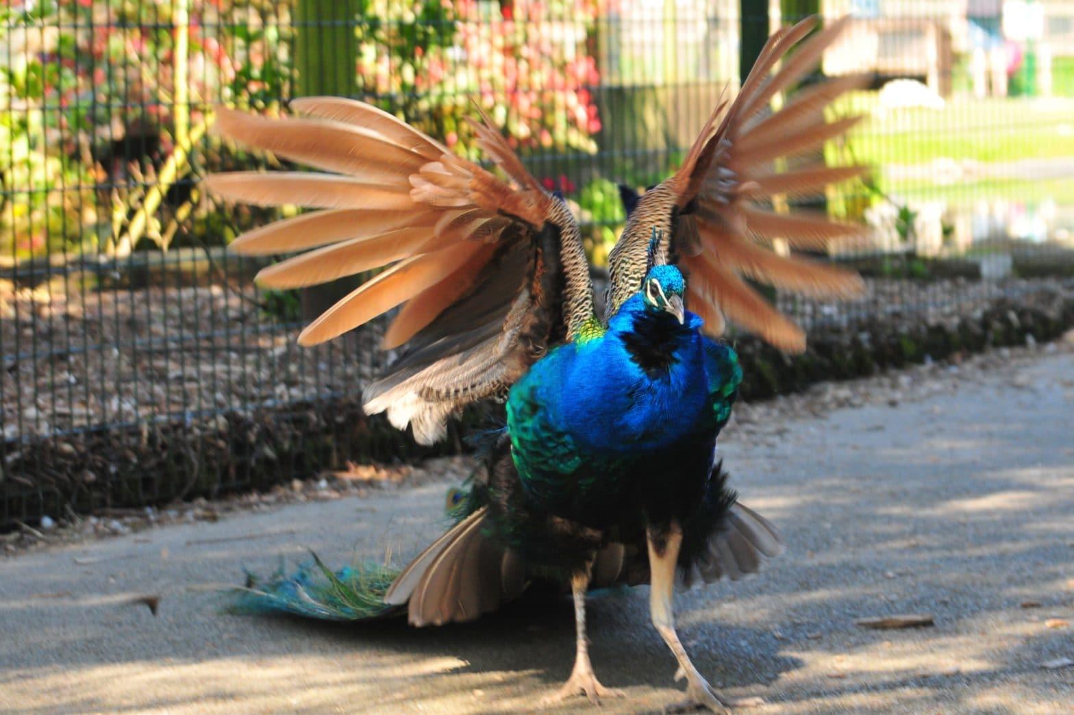 Peacock at Walton Hall and Gardens