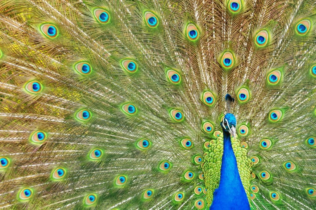 Peacock in full display at Walton Hall and Gardens