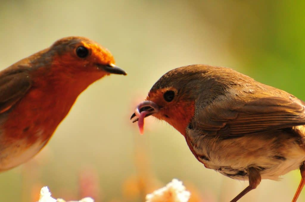 Two robins eating worms at Walton Hall and Gardens