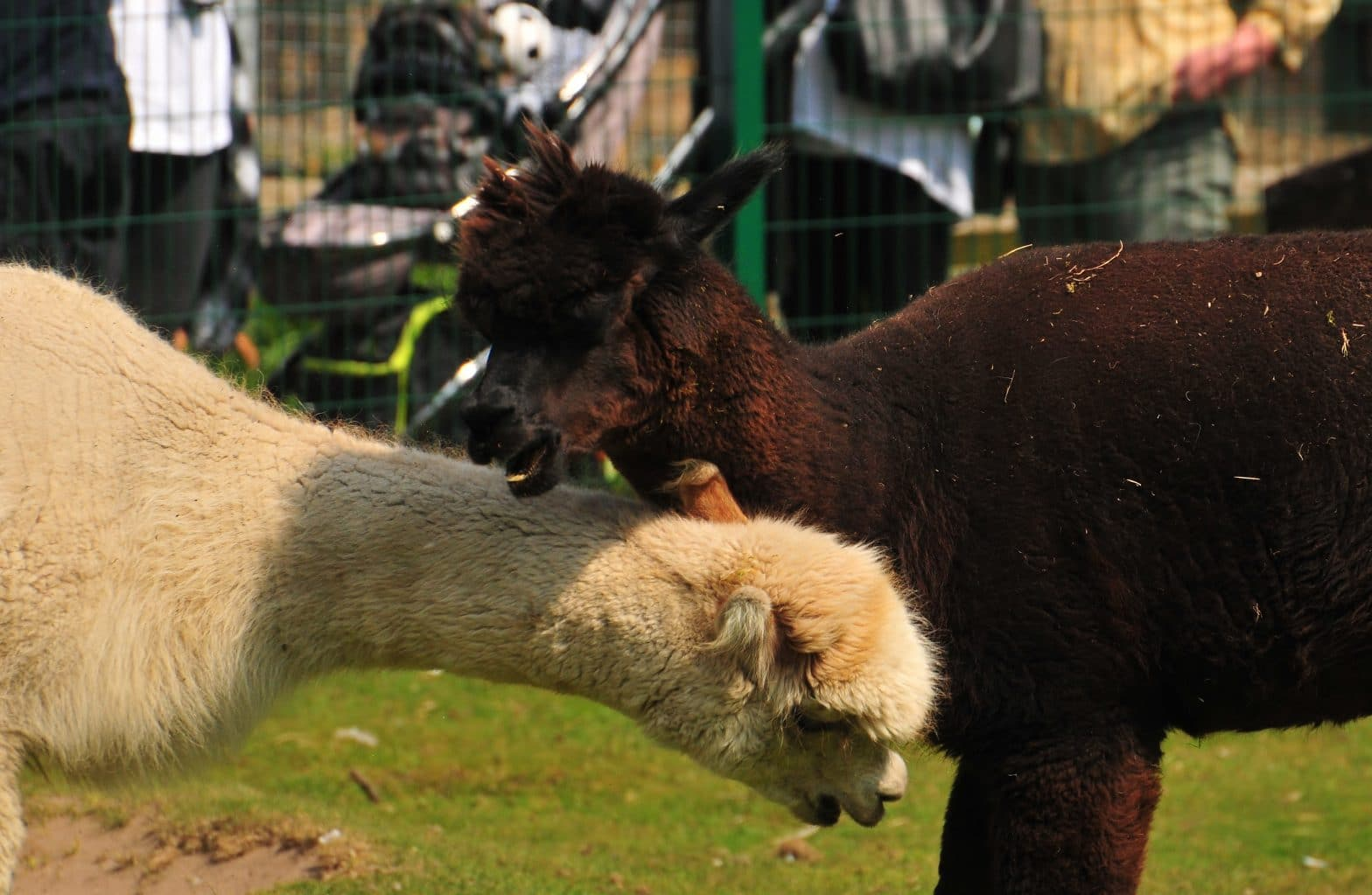 Our two alpacas at Walton Hall and Gardens Children's Zoo