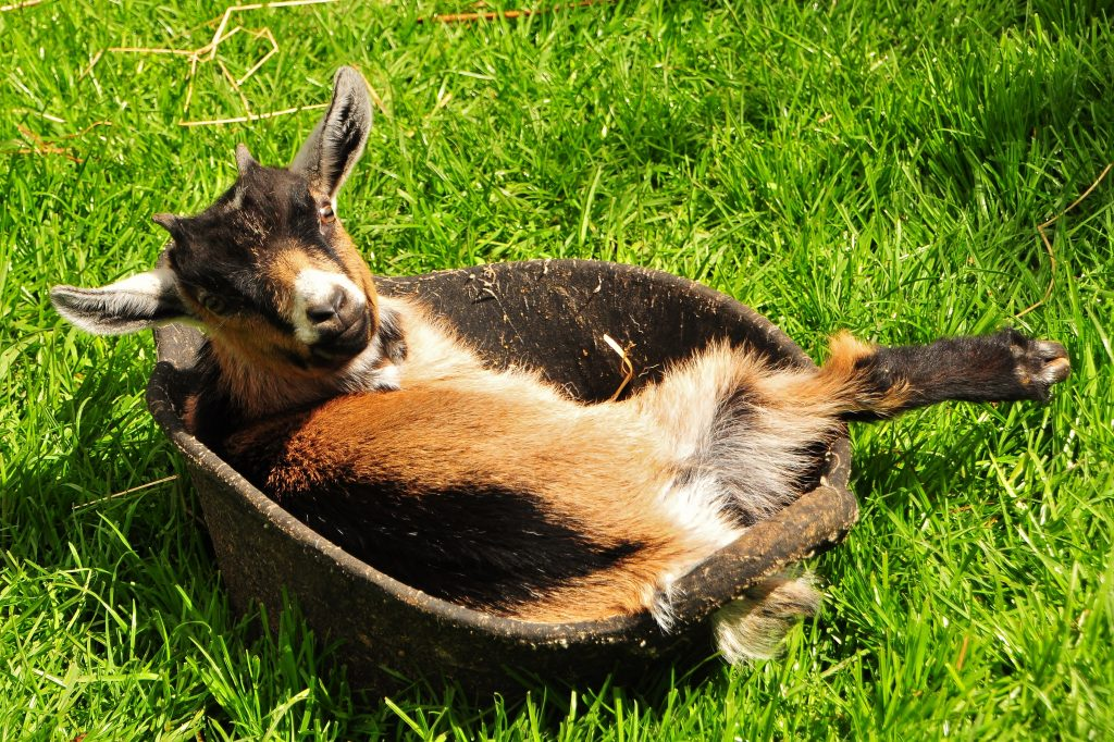 African Pygmy goat at the Children's Zoo