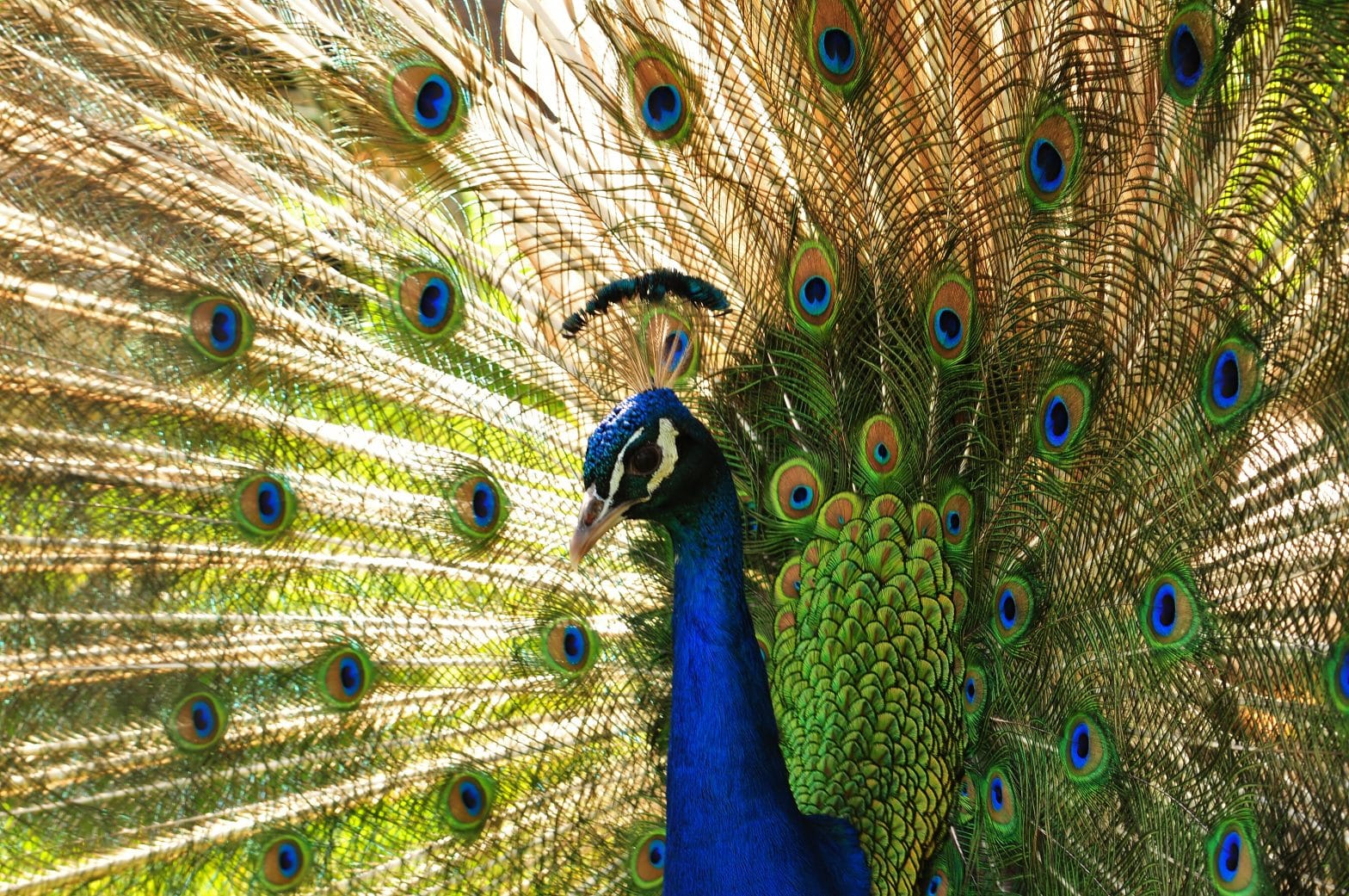 Peacock in full display at the Children's Zoo. Image for Walton Survey.