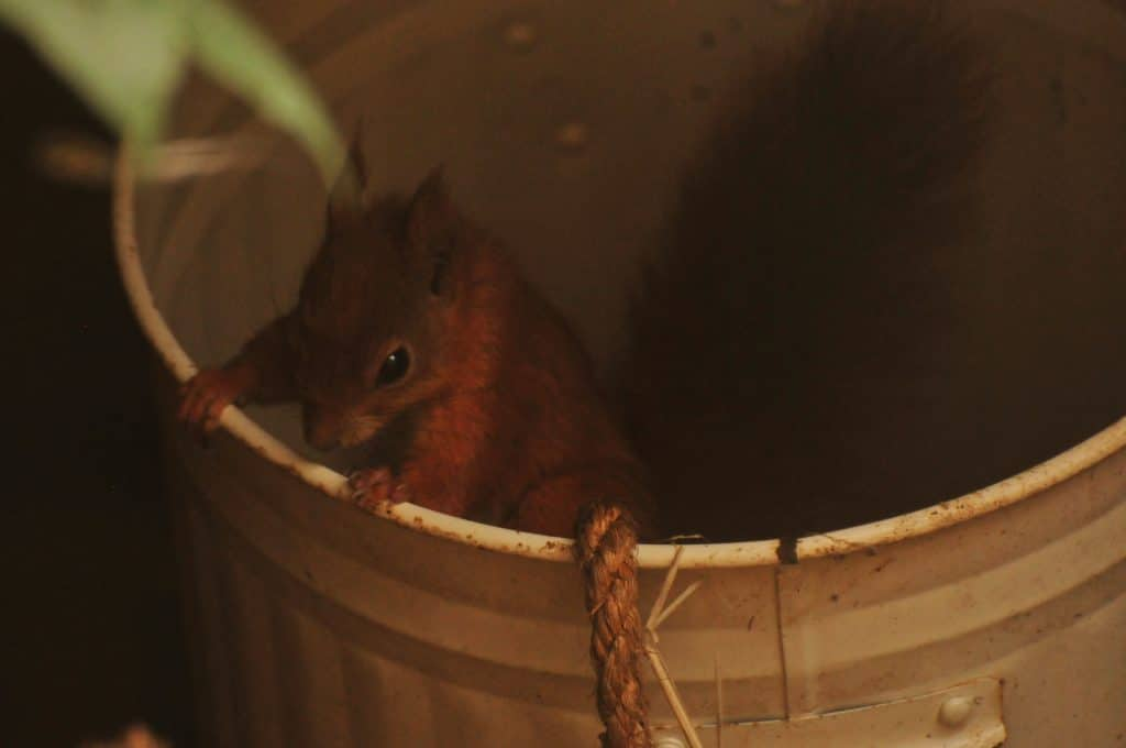 Baby Red Squirrel at Walton Hall and Gardens