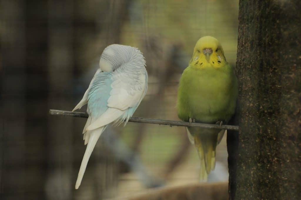 Dozing budgerigars at Walton Hall and Gardens