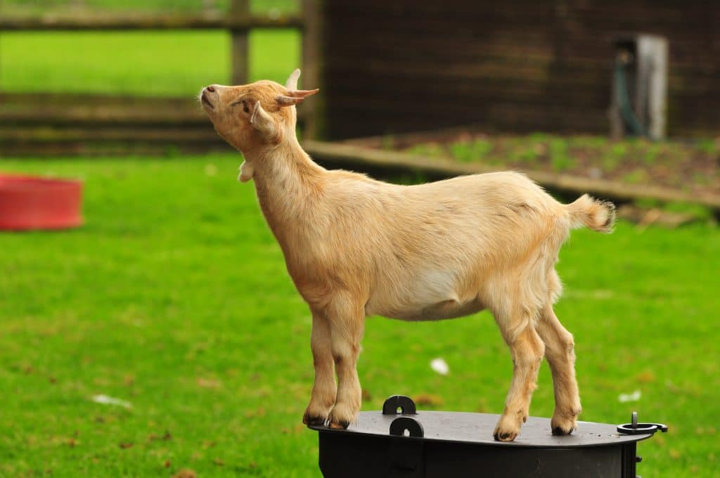 Goat in the children's zoo gallery