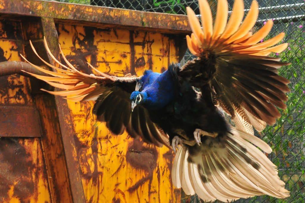 Incoming peacock at Walton Hall and Gardens