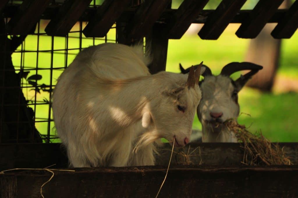 Goats at Walton Hall and Gardens