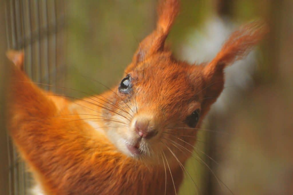 Red Squirrel at Walton Hall and Gardens