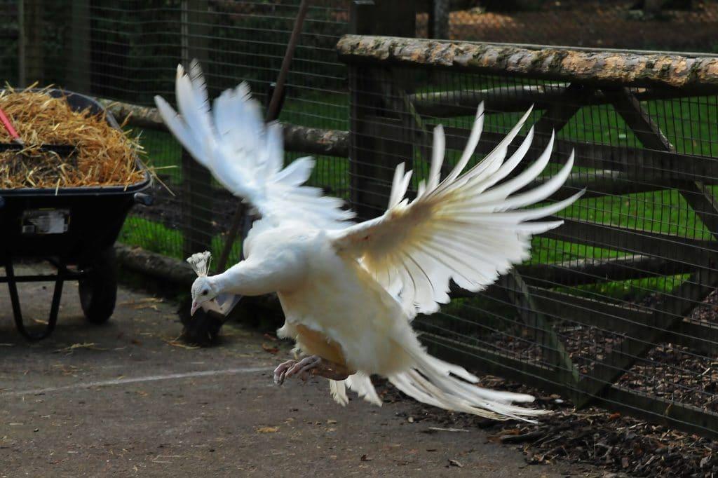 White peacock incoming at Walton Hall and Gardens