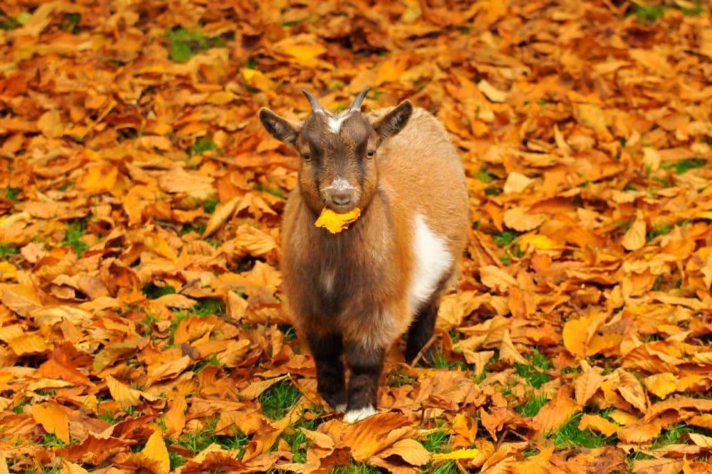 Autumnal goat - walton hall and gardens homepage